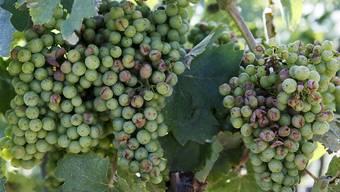 Die Weinberge in den Regionen Le Mandement GE und La Côte VD waren vom heftigen Hagel am Freitag besonders betroffen. Die Trockenheit dämmt indes die Fäulnisgefahr ein. (Archiv).