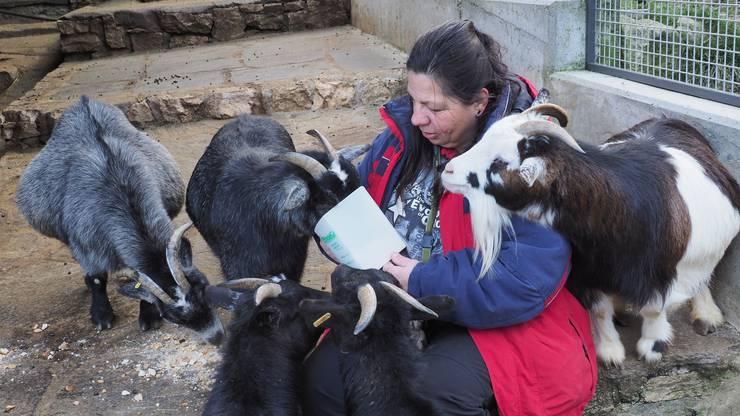 Die Unterwolle der Zwergziegen schützt die Tiere vor der Kälte.