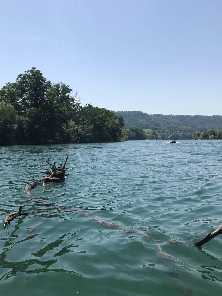 Je nach Wasserstand führt der Rhein hie und da Schwemmholz.