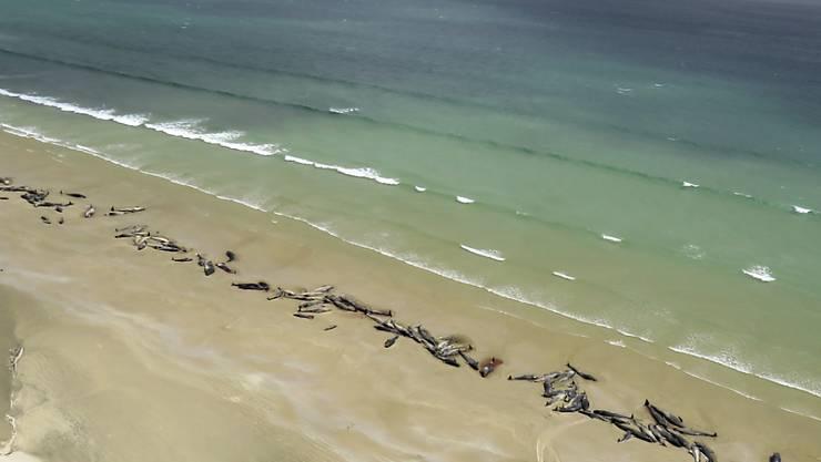 In Neuseeland wurden am Wochenende mehrere Dutzend Grindwale am Strand entdeckt.