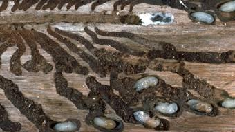 Die Hitze begünstigt den Käferwachstum. (Symbolbild)
