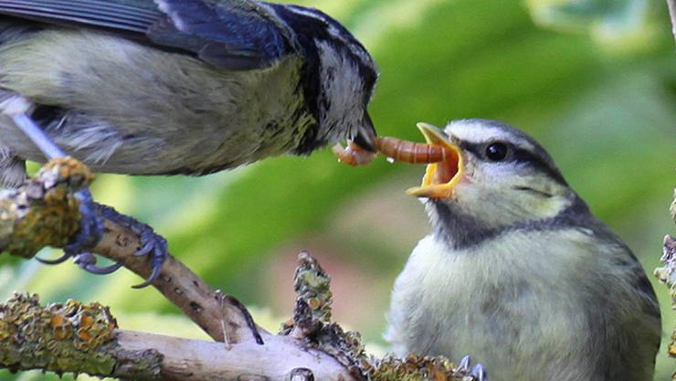 Eine Blaumeise füttert ihren Jungvogel mit einer Käferlarve. Alle Vögel weltweit fressen jährlich bis zu 500 Tonnen Insekten, wie Basler Zoologen schätzen.