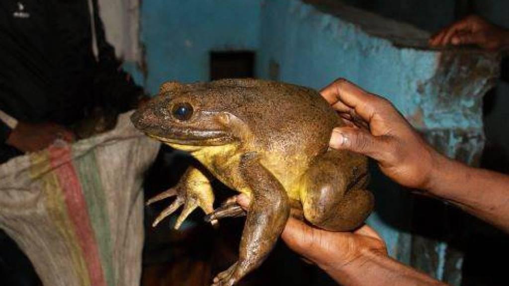 Die grösste bekannte Froschart der Erde: Goliathfrösche kommen in Kamerun und Guinea vor.
