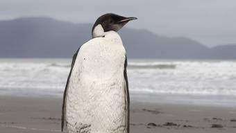 "Hungriger Pinguin: ""Happy Feet"" frisst zwei Kilo Lachs pro Tag"