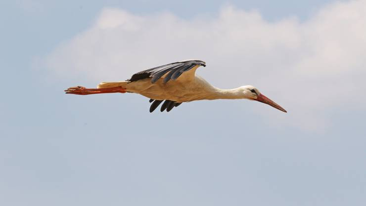 Die jüngeren Störche fliegen jedes Jahr in den Süden – rund einen Monat dauert ihre Reise. (Symbolbild)