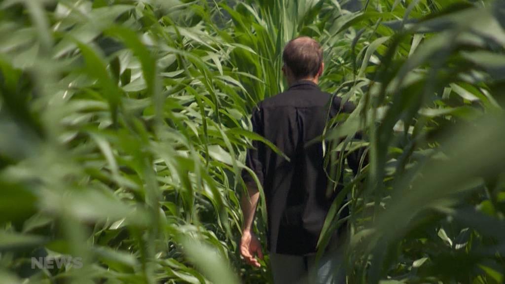 In Bösingen steht das erste digital gesäte Maislabyrinth der Schweiz