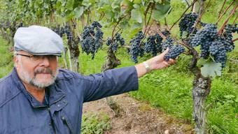 Nicht alles ist erfroren: Peter Rey, Leiter der Aargauer Fachstelle Weinbau, mit schönen Blauburgunder-Trauben im Rebberg von Pirmin Umbricht in Untersiggenthal.