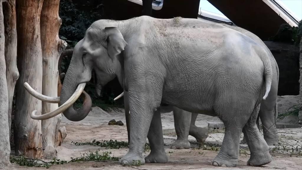 Elefantenbulle Maxi musste eingeschläfert werden