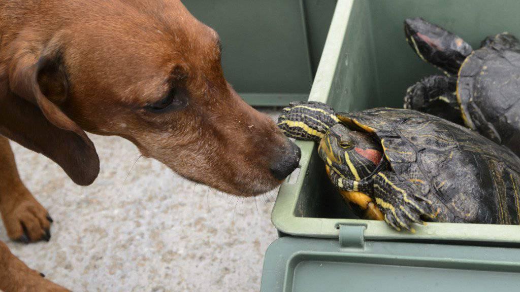 Ein Hund begrüsst die rund 50 Neuankömmlinge in ihren Transportkisten in der Auffangstation PRT in Chavornay VD.