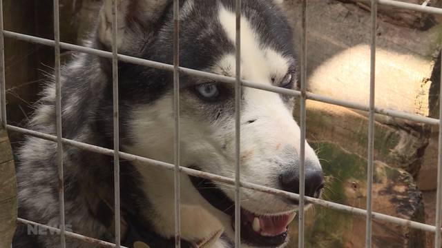 Veterinärdienst beschlagnahmt 34 Huskys in Röthenbach