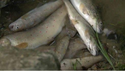Grosses Fischsterben im Mülibach in Biberist