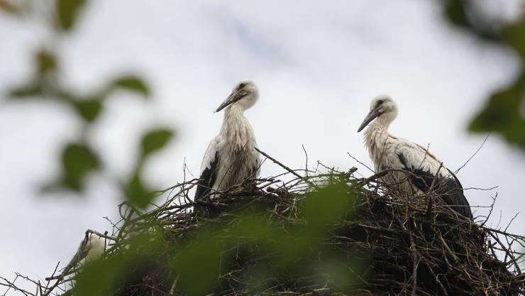 Zwei Jungstörche in einem Nest im europäischen Storchendorf Altreu