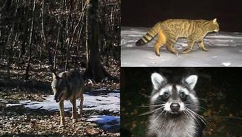 Neben dem Wolf wurden auch schon Waschbären im Kanton gesichtet (unten rechts). Die Wildkatze (oben rechts) wandert aus dem Jura ein.