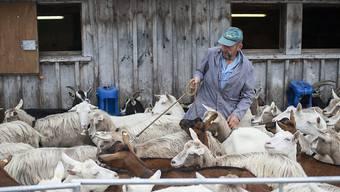 Emmi hat gute Erfahrungen mit Ziegenmilch gemacht und verstärkt diesen Bereich mit dem Kauf der Mehrheit an einem österreichischen Anbieter. (Symbolbild)