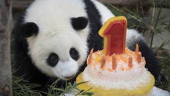 Eine Rüeblitorte zum Geburtstag: Ein Panda-Weibchen im Zoo von Malaysia wird ein Jahr alt.