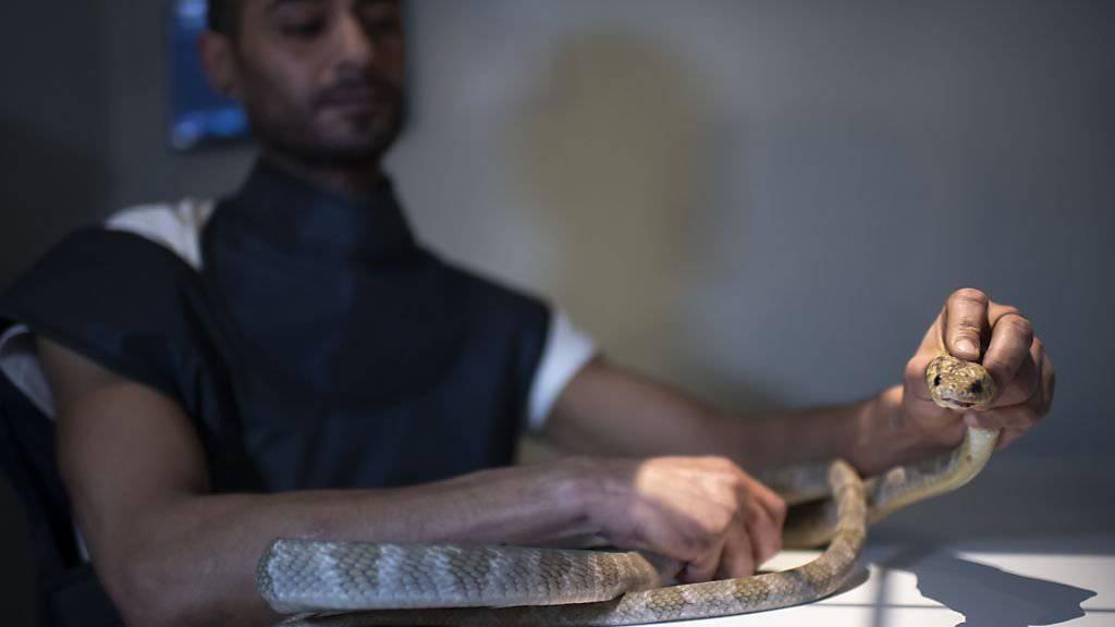 Tierhalter Karim Amri mit der Blandings Nachtbaumnatter, die beim Tierarzt in Sargans SG für Röntgenaufnahmen vorbereitet wird. Die Giftschlange ist Teil einer Wanderausstellung mit rund 200 exotischen Tieren. (KEYSTONE/Gian Ehrenzeller).