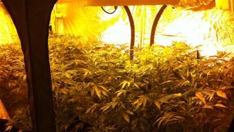 Insgesamt fast 700 Pflanzen fanden die Polizisten in der Indoor-Anlage.