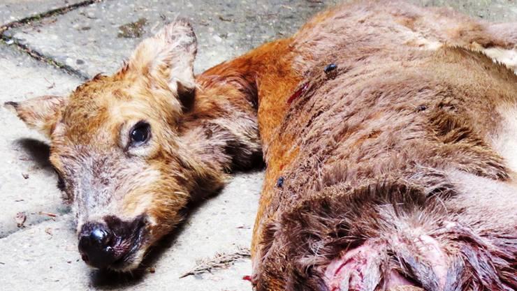 Der Jagdaufseher musste das schwer verletzte Reh mit einem Fangschuss töten.