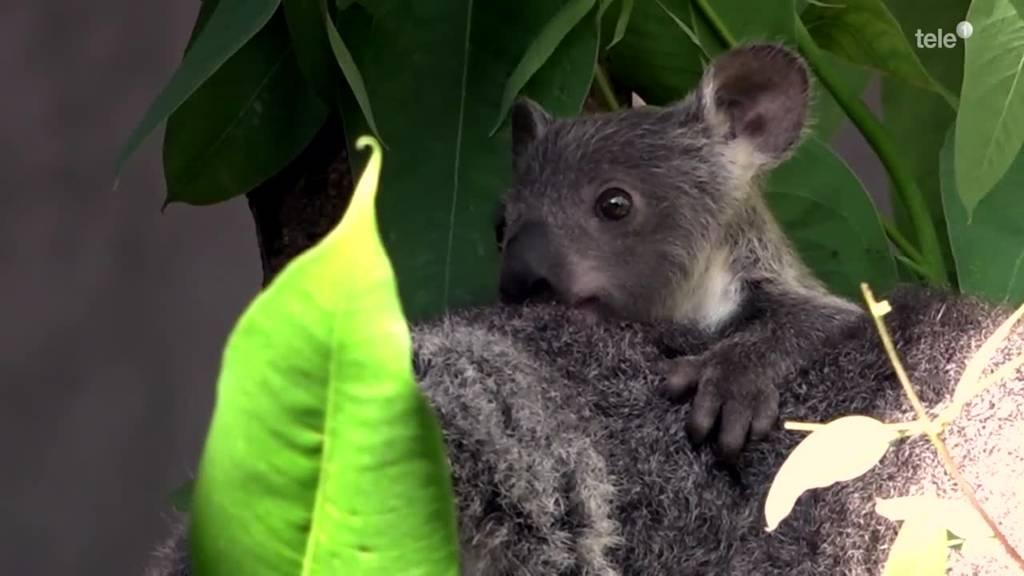 Koala-Nachwuchs im Zoo Zürich / Tiere als Weihnachtsgeschenk