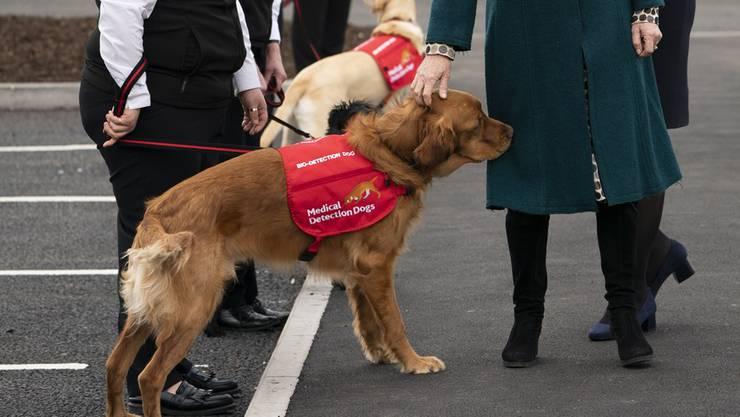 Hunde können das Virus erschnüffeln. (Symbolbild).