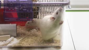 Bei der Kontrolle hatte das Veterinäramt 2018 festgestellt, dass zwei Mäuse nicht vorschriftsgemäss behandelt worden waren. (Symbolbild)