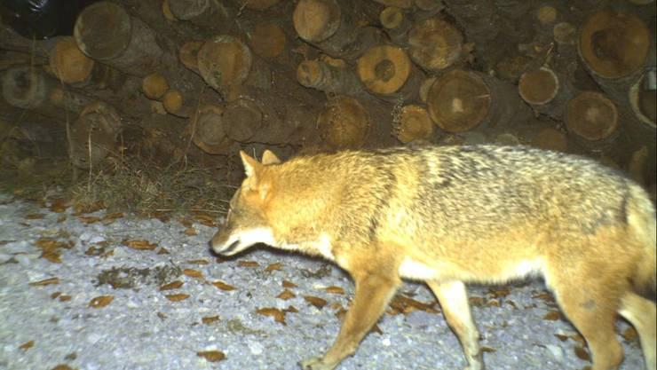Ein Goldschakal tappte am 27. November 2011 in der Nordwestschweiz in eine Fotofalle. Das Tier ist grösser als ein Fuchs und kleiner als ein Wolf. Es ernährt sich vorwiegend von mittelgrossen Wirbeltieren sowie Insekten und Früchten. (Archivbild)