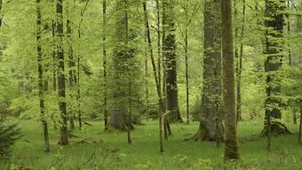 Wiederaufforstung wäre der effizienteste Weg, der Atmosphäre CO2 zu entziehen und zu speichern, zeigt eine neue Studie. Die Forscher legen auch dar, wo die Wiederbewaldung möglich wäre. (Symboldbild)