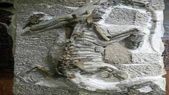 Das Skelett des 2015 in Frick gefundenen Plateosaurus «Fabian».