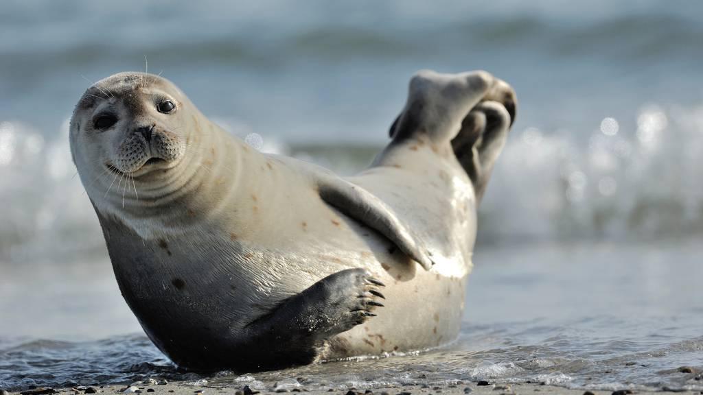 Süsse Seehunde bei der «Arztvisite»