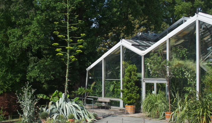 Der Botanische Garten der Universität Basel hat nach der Titanwurz eine neue Attraktion: die «Agave americana»