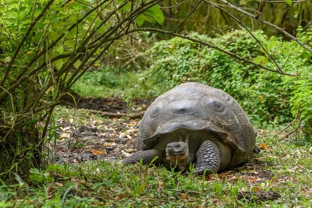 Auf Santa Cruz, einer Insel des Galapagos-Archipels, suche ich nach den legendären Riesenschildkröten. Die Tiere können bis zu 300 Kilogramm wiegen und gegen 150 Jahre alt werden.