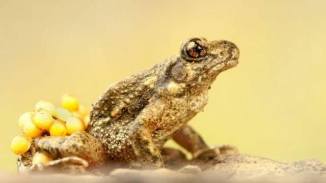 Die Geburtshelferkröte trägt die Brut auf seinen Fersen. Das «Tier des Jahres» ist nur so gross wie ein Fünfliber. Foto: HO