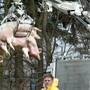 Belgien stuft die Gefahr vor der Afrikanischen Schweinepest herab. Das Landwirtschaftsministerium lockerte Massnahmen im Kampf gegen die Tierseuche. (Symbolbild)