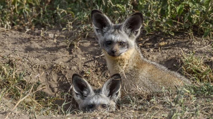 Löffelhunde gehören zu den afrikanischen Wildhunden, ernähren sich aber hauptsächlich von Termiten.
