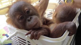 Eines der beiden geretteten Orang-Utan-Babys