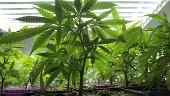 Eine Cannabisplantage sollte genug Geld für den Schulbesuch abwerfen (Symbolbild)