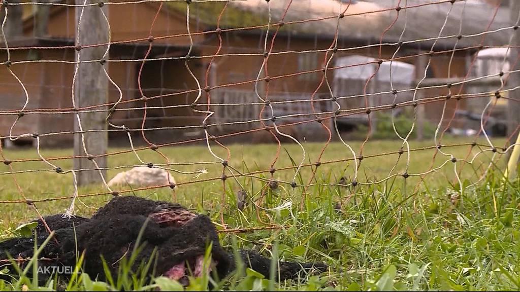 Tierdrama von Oftringen: Bauer fiel trotz Kontrollen nicht auf
