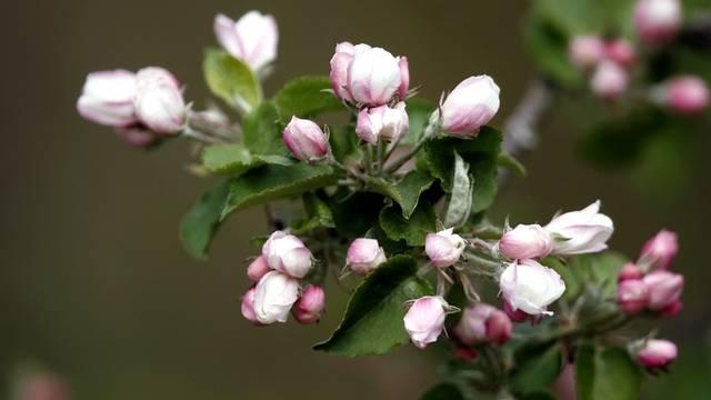 Apfelblüten blühen in einem Garten (Symbolbild)