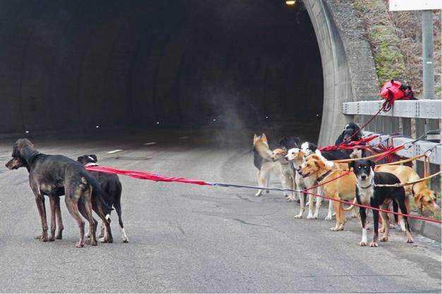 Banges Warten: Die Schlittenhunde warten auf der A16 der Dinge, die da kommen. An ein Rennen ist nicht zu denken.