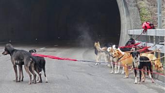 Transporter mit Schlittenhunden verunfallt auf der Autobahn A16