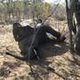 ARCHIV - Ein toter Elefant liegt im Hwange-Nationalpark unter einem Baum. Foto: -/AP/dpa