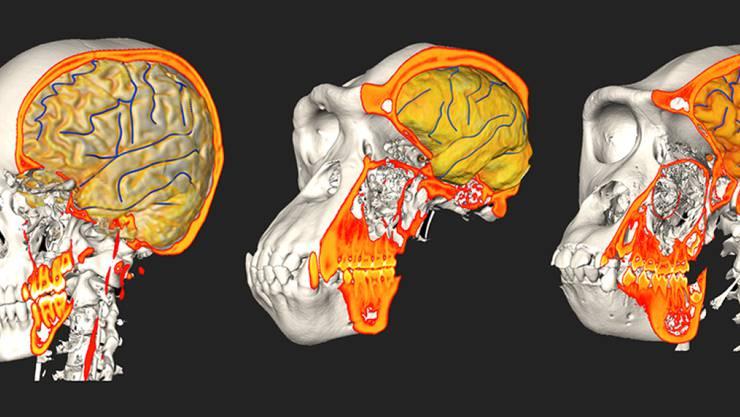Prägten Schädelveränderungen die Hirnstrukturen und umgekehrt? Forschende der Uni Zürich haben dies anhand von Vergleichen zwischen Menschen und Menschenaffen untersucht (links Mensch, Mitte Schimpanse, rechts Gorilla).