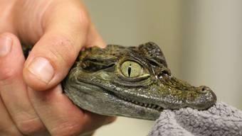 Krokodil Rümlang
