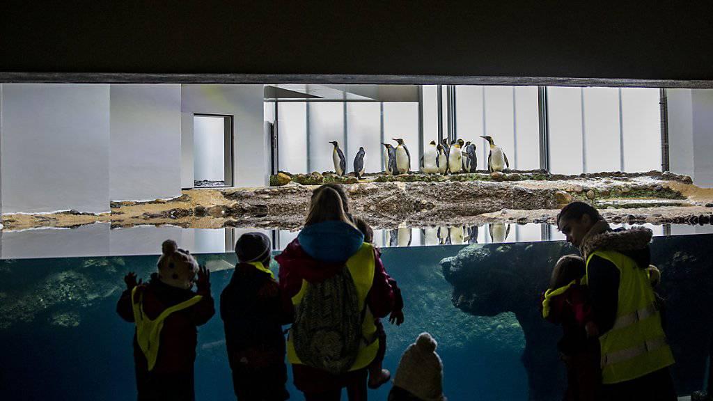 Besucherinnen und Besucher können die Pinguine zudem neu durch eine grössere Scheibe beim Schwimmen beobachten.