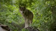 Schutz vor Wolf