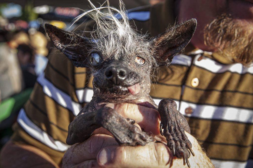 Sweepee Rambo, der hässlichste Hund der Welt