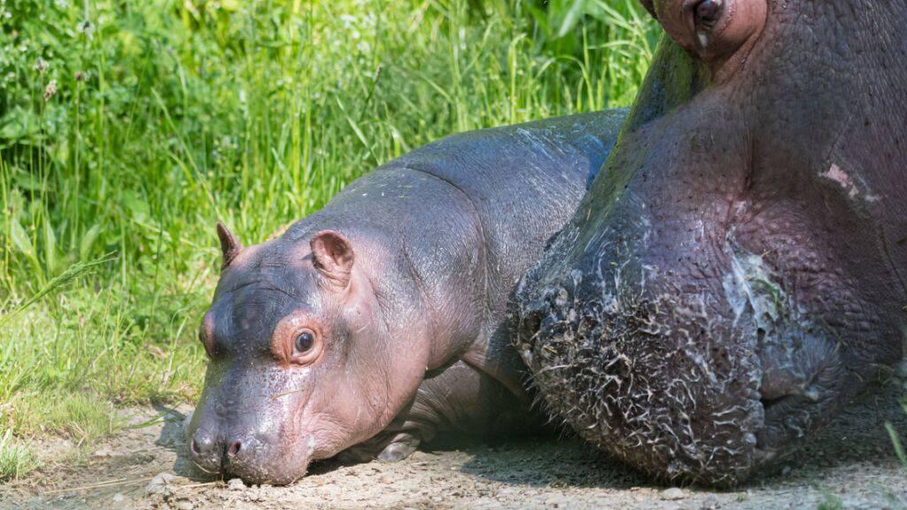 Das Basler Flusspferd-Mädchen Serena auf seinem ersten Aussenspaziergang.