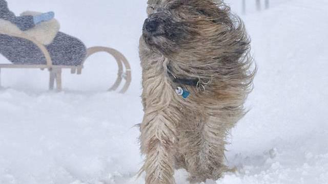 Hund Lulu kämpft sich bei Arosa durch einen heftigen Föhnsturm
