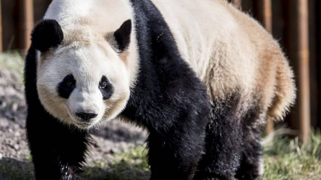 Laut der Nachrichtenagentur Xinhua soll ein App zur Gesichtserkennung Artenschützern künftig helfen, Pandas zu identifizieren und mehr über das Leben und Verhalten der stark bedrohten Bärenart zu erfahren. (Archivbild)