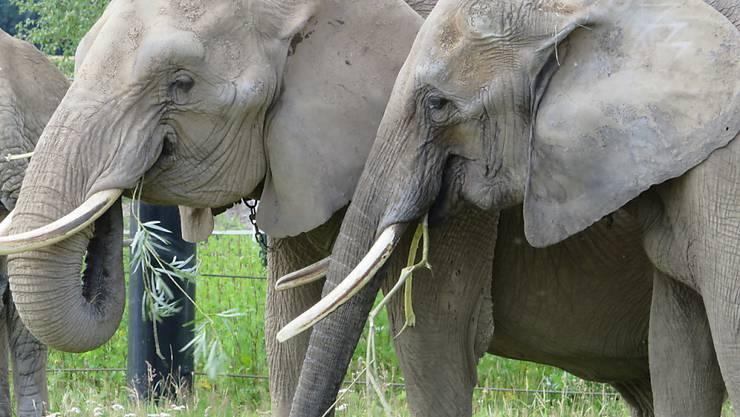 """Mal dicker mal dünner: Zürcher Forscher sind einem """"Jojo-Effekt"""" bei Zoo-Elefanten auf die Schliche gekommen."""